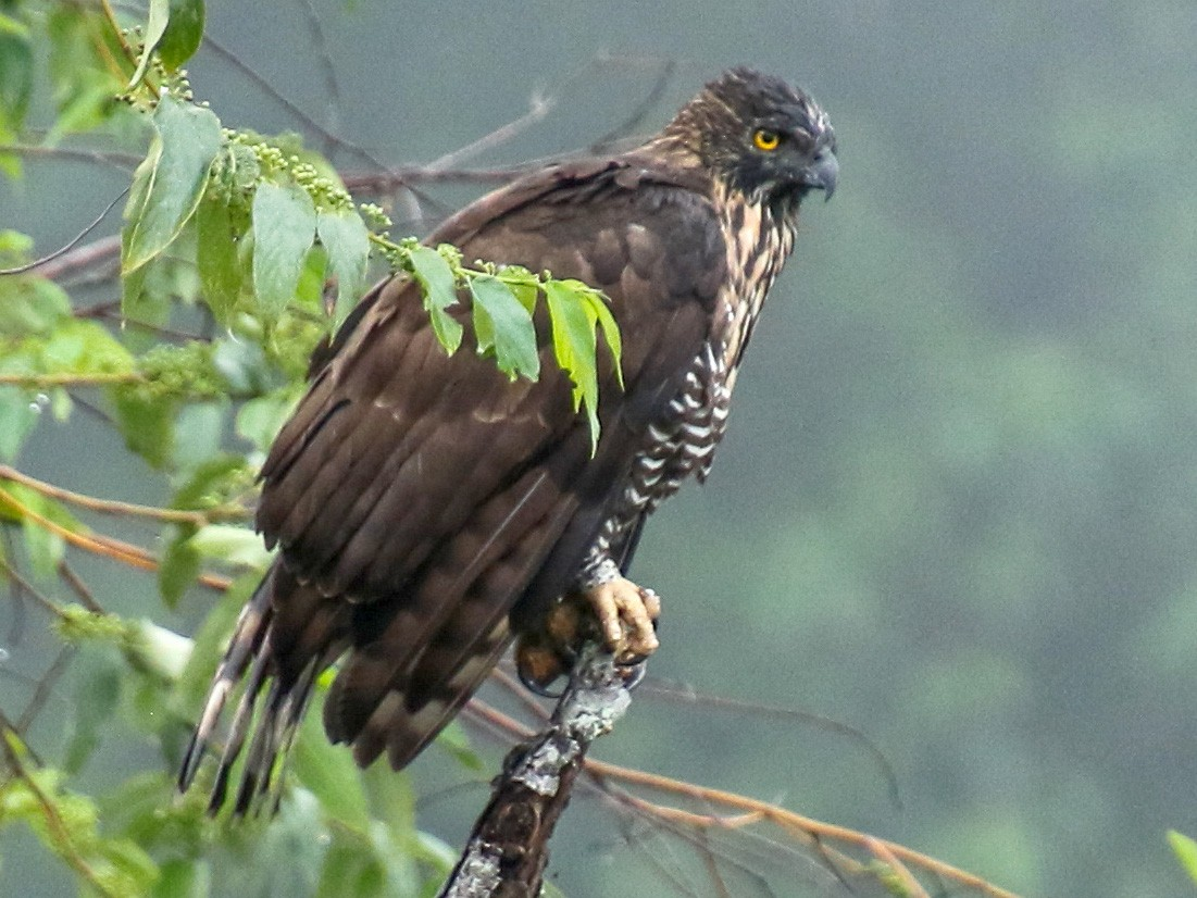 Sulawesi Hawk-Eagle - Alex Berryman
