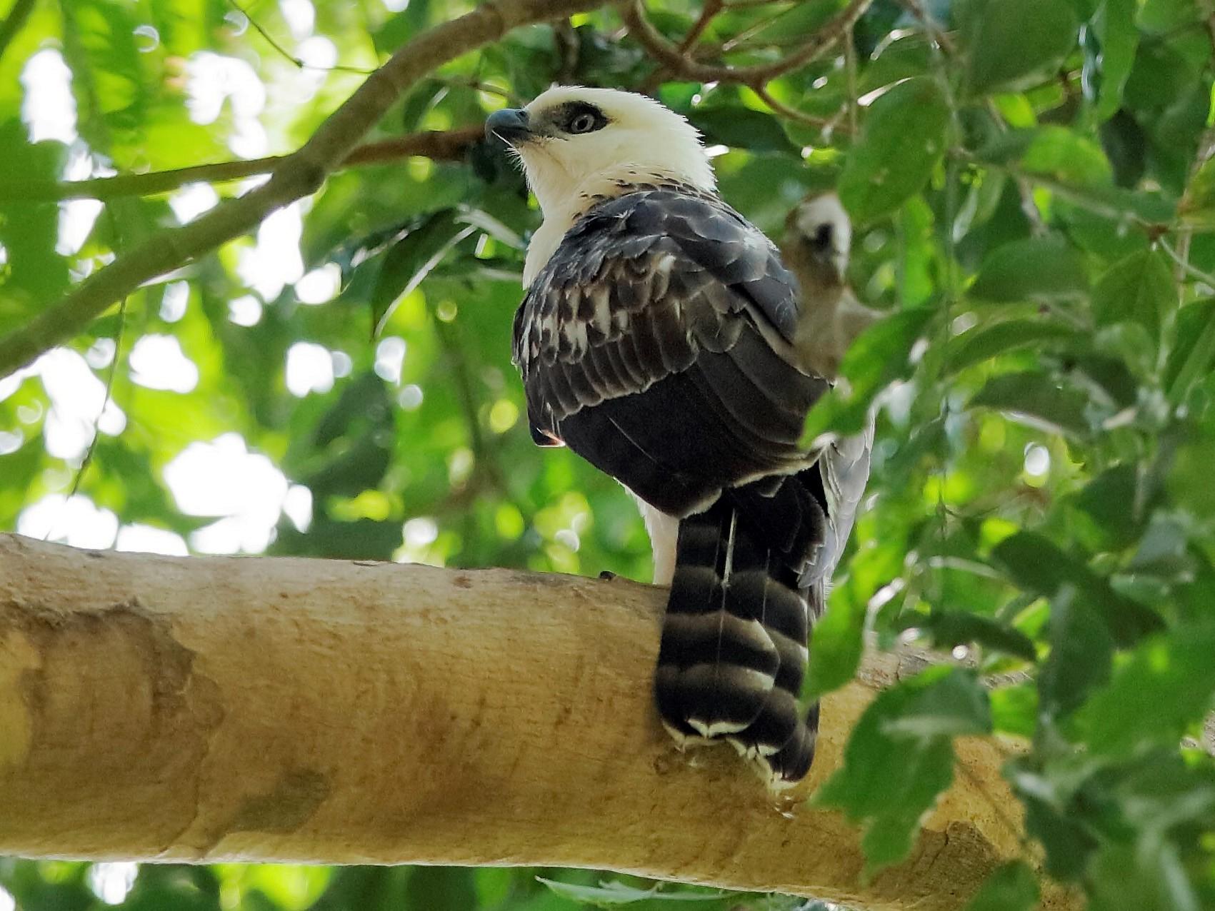 Sulawesi Hawk-Eagle - Holger Teichmann