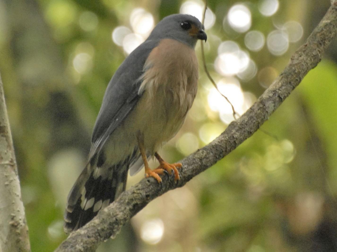 Spot-tailed Goshawk - David Hollie