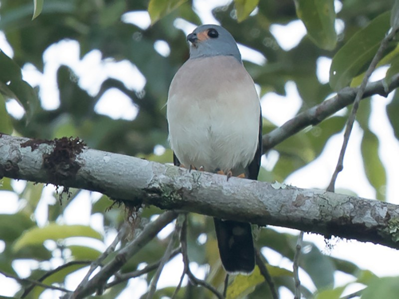 Spot-tailed Goshawk - Frédéric PELSY