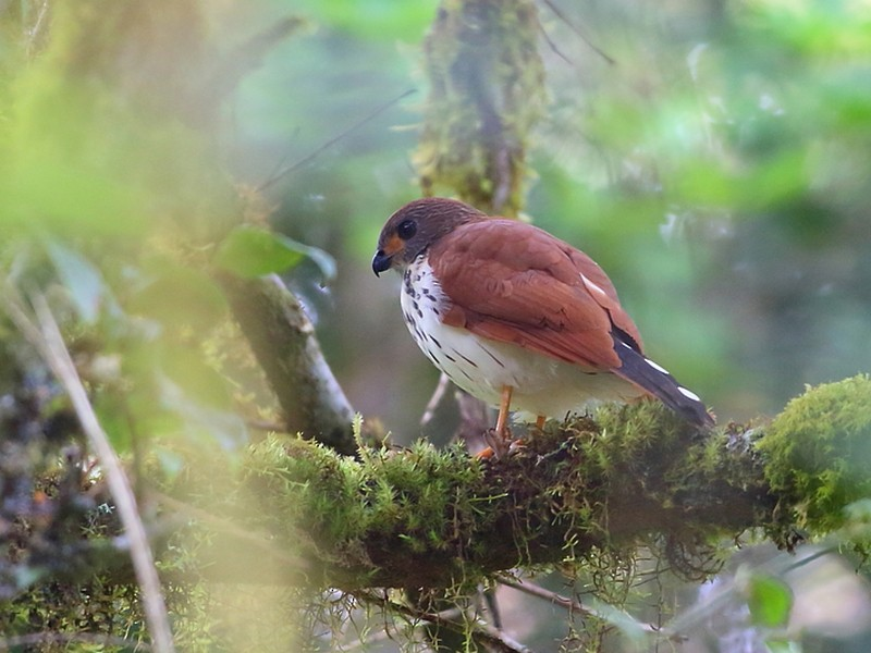 Spot-tailed Goshawk - Carlos Bocos
