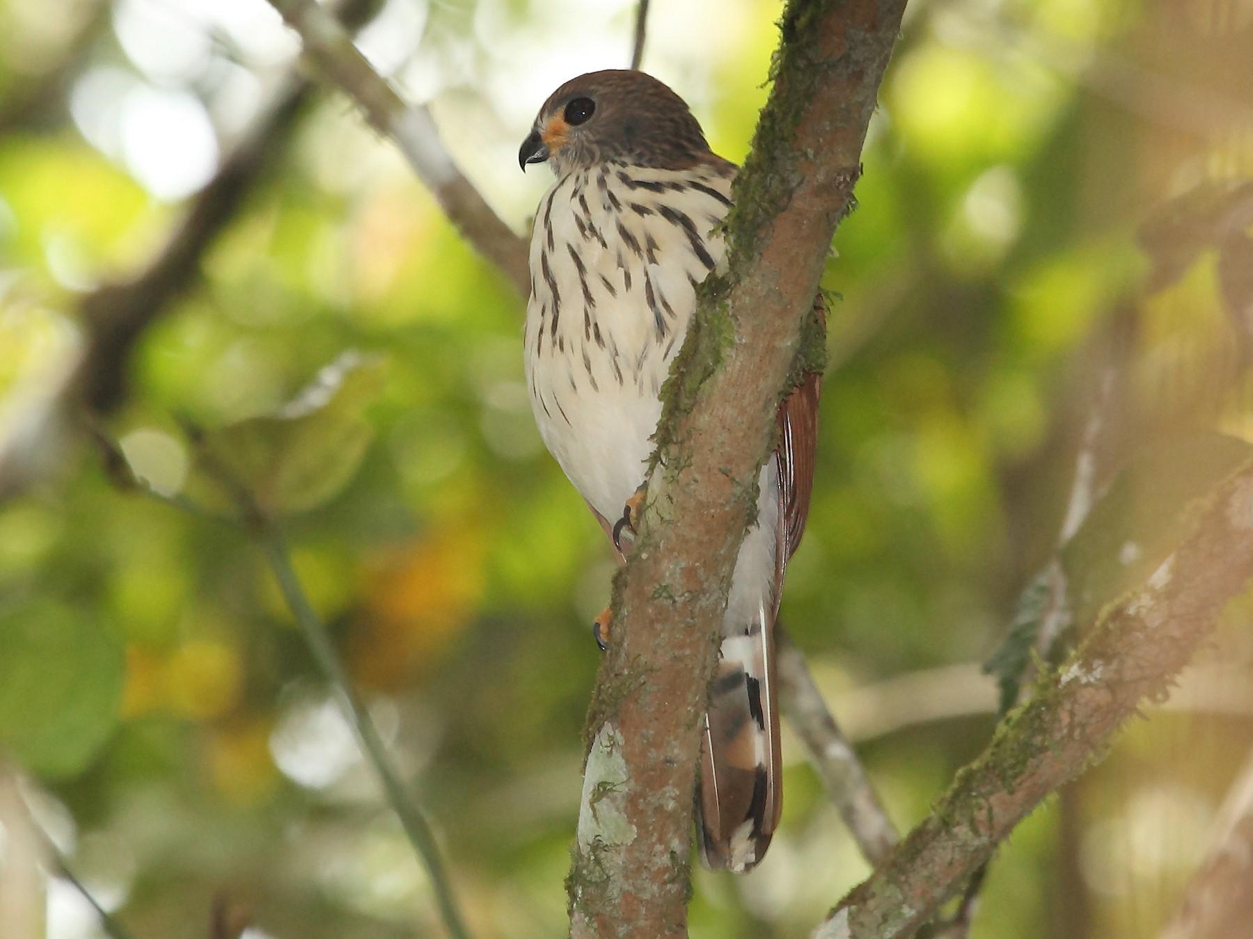 Spot-tailed Goshawk - Nigel Voaden