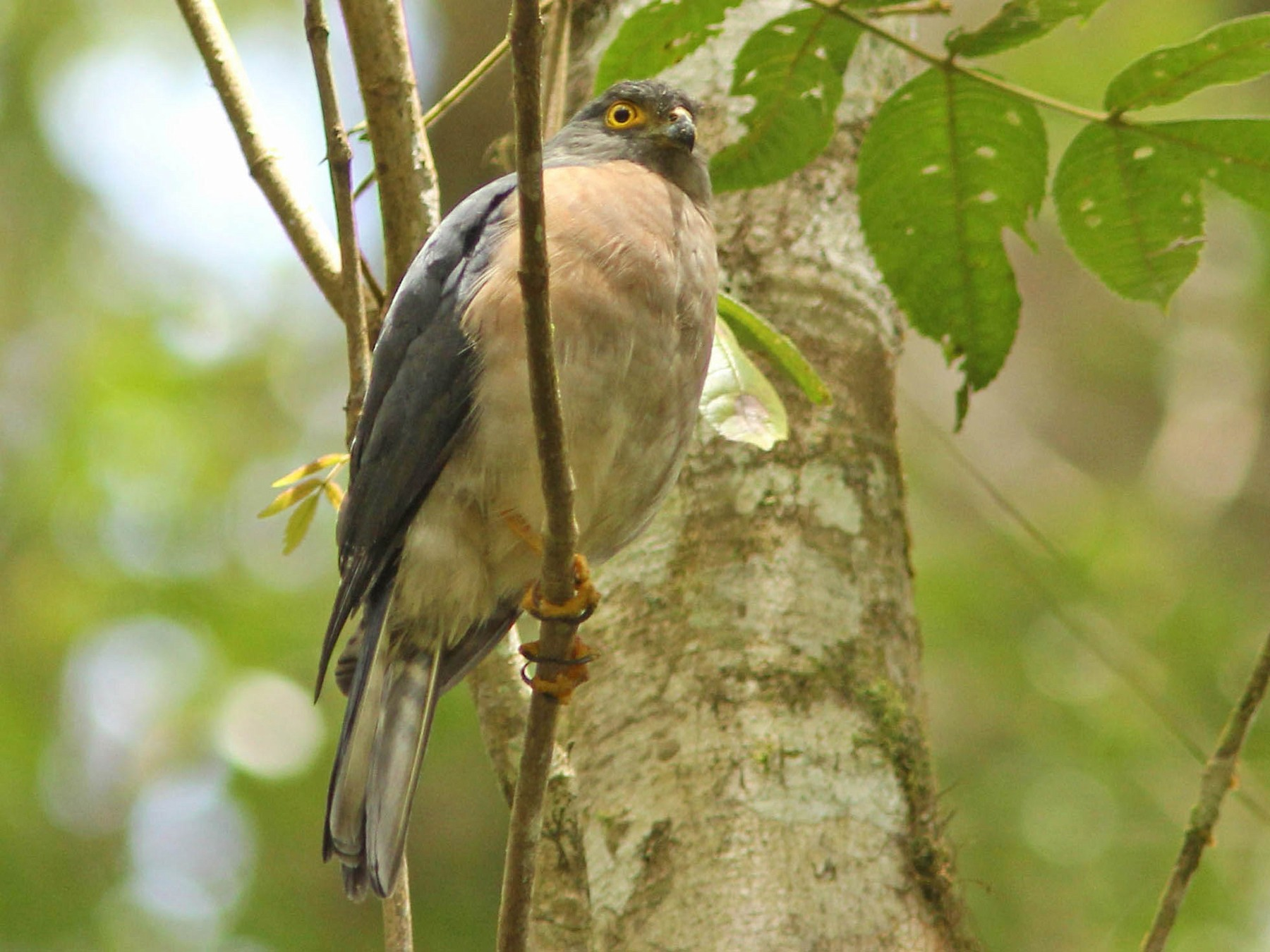 Small Sparrowhawk - David Beadle