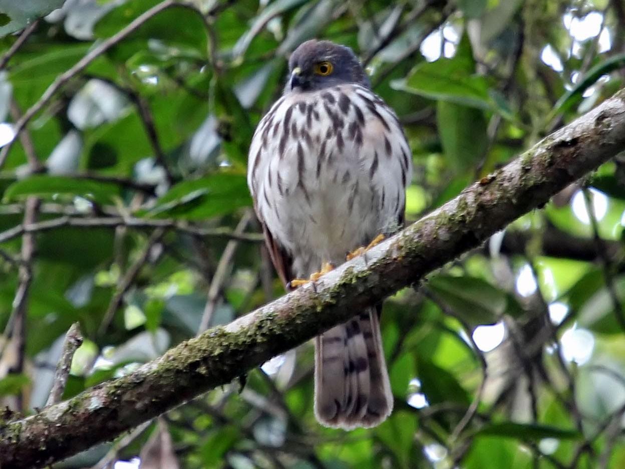 Small Sparrowhawk - Phillip Edwards