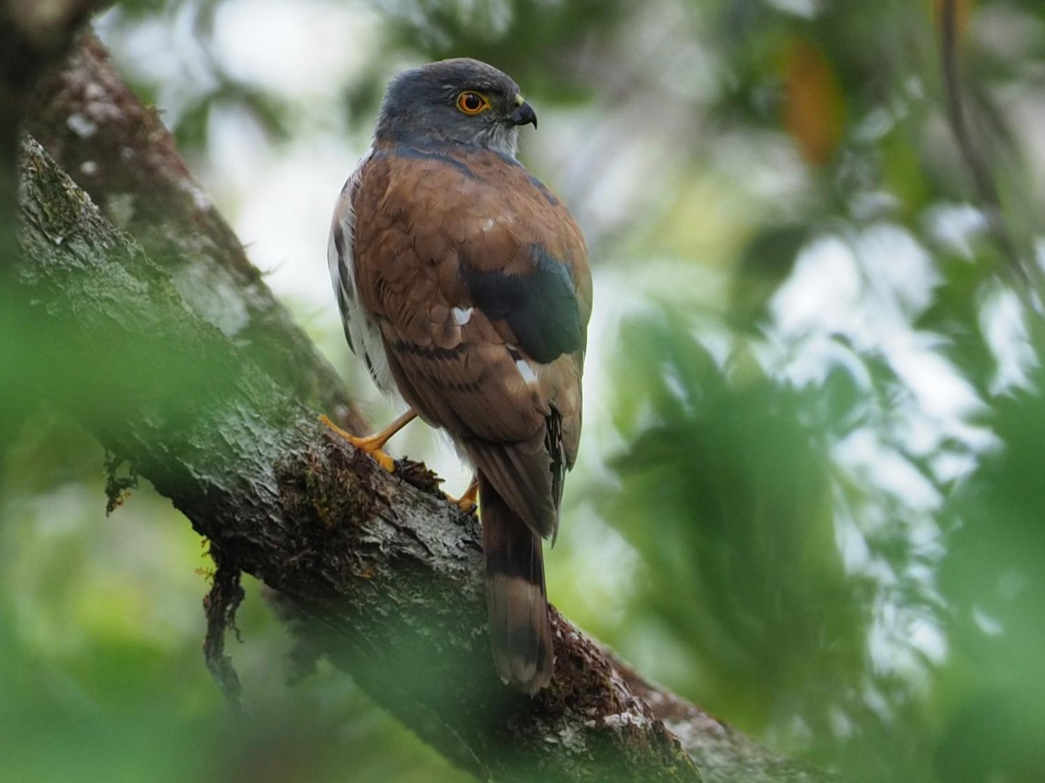 Small Sparrowhawk - James Eaton