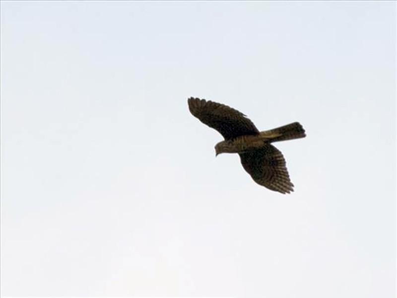 Rufous-necked Sparrowhawk - Scott Bowers