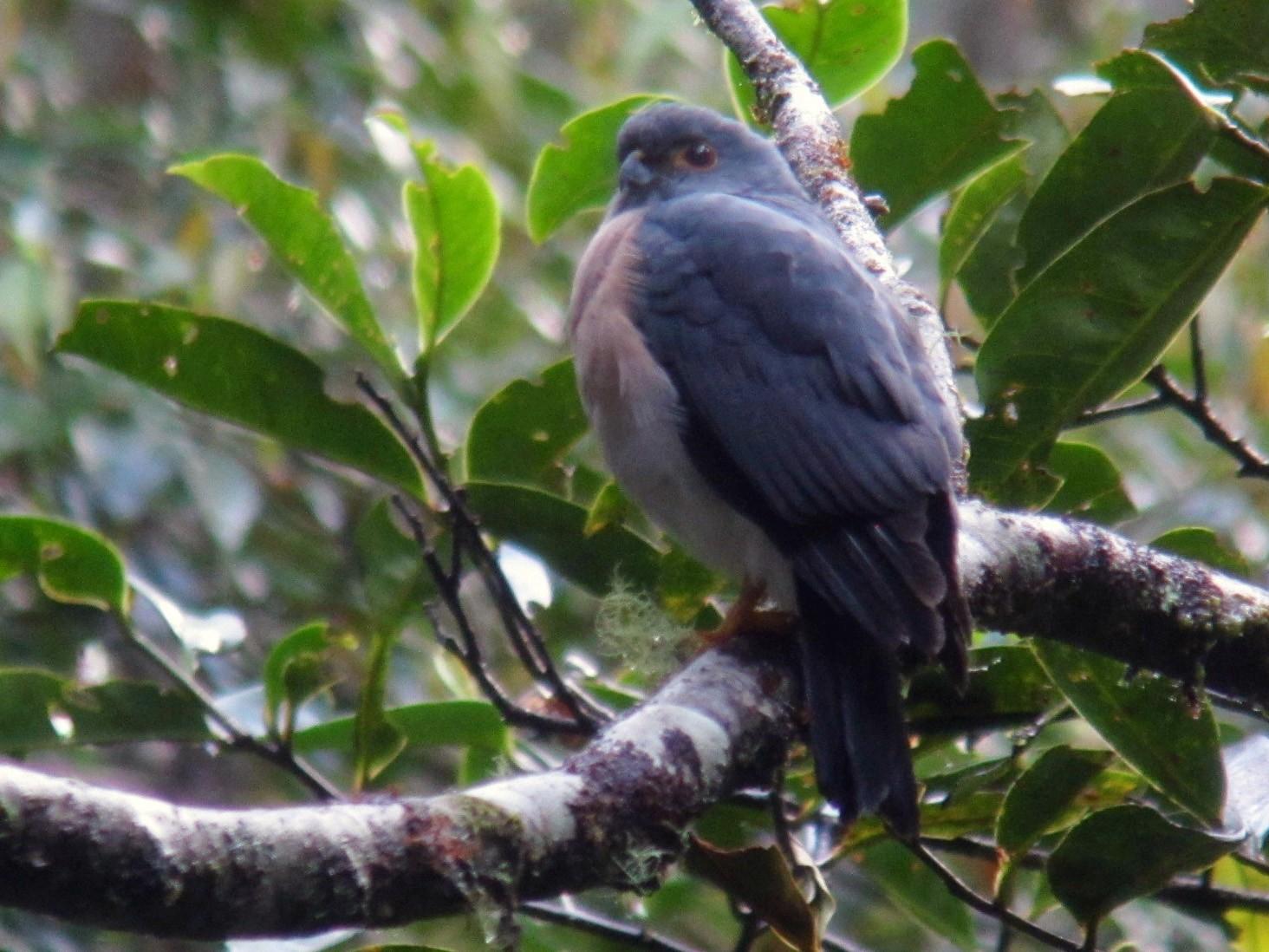 Small Sparrowhawk - Timo Mitzen