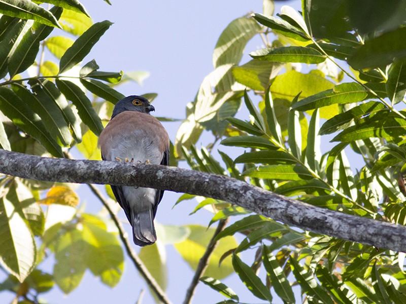 Small Sparrowhawk - Peter  Ericsson