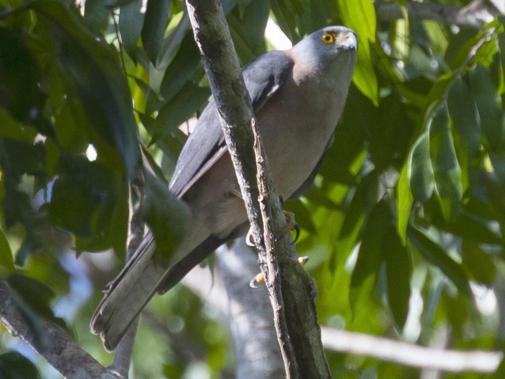 Rufous-necked Sparrowhawk - Tony Palliser