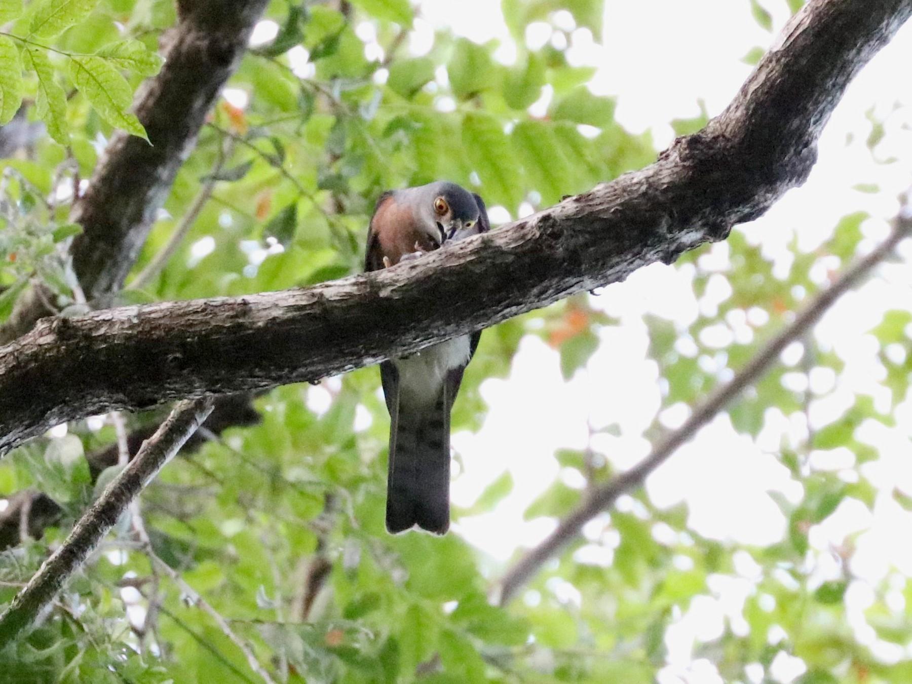 Vinous-breasted Sparrowhawk - Julien Lamouroux
