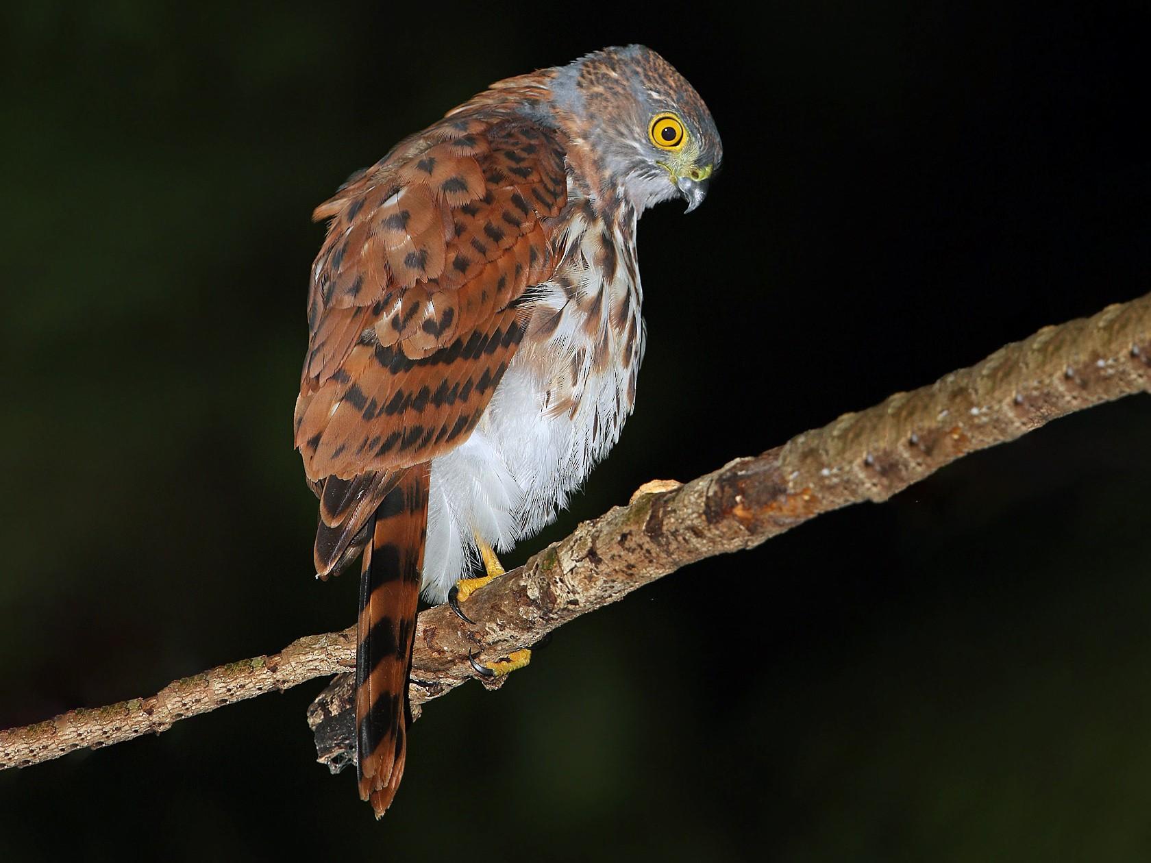 Vinous-breasted Sparrowhawk - James Eaton