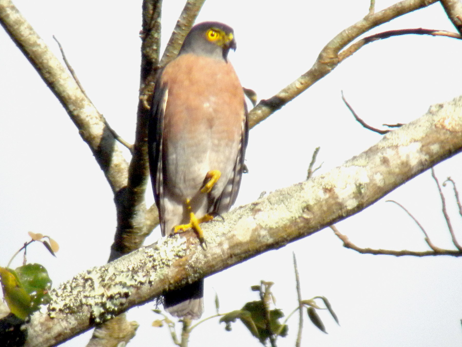 Vinous-breasted Sparrowhawk - Phil Tizzard