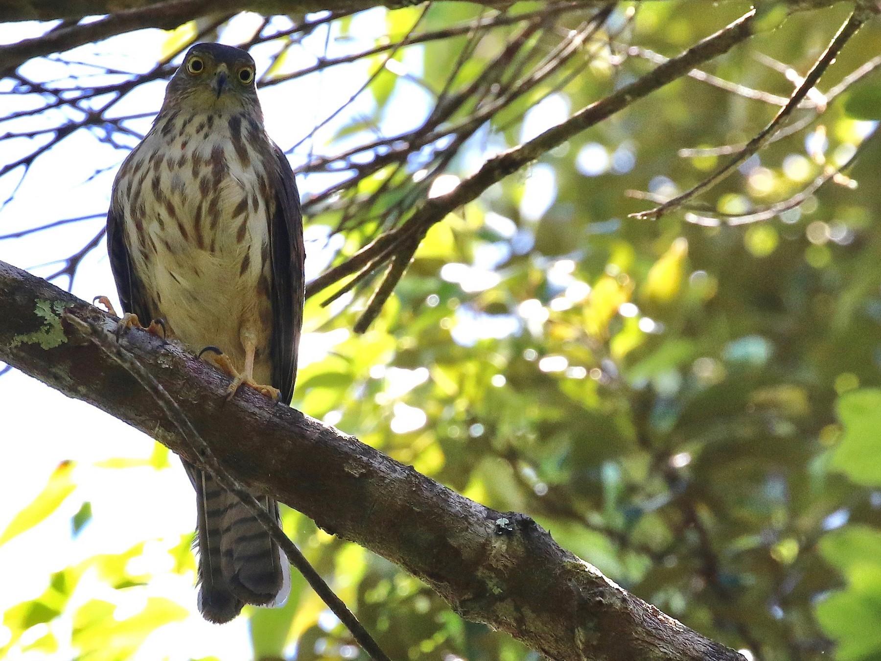 Rufous-necked Sparrowhawk - Craig Robson
