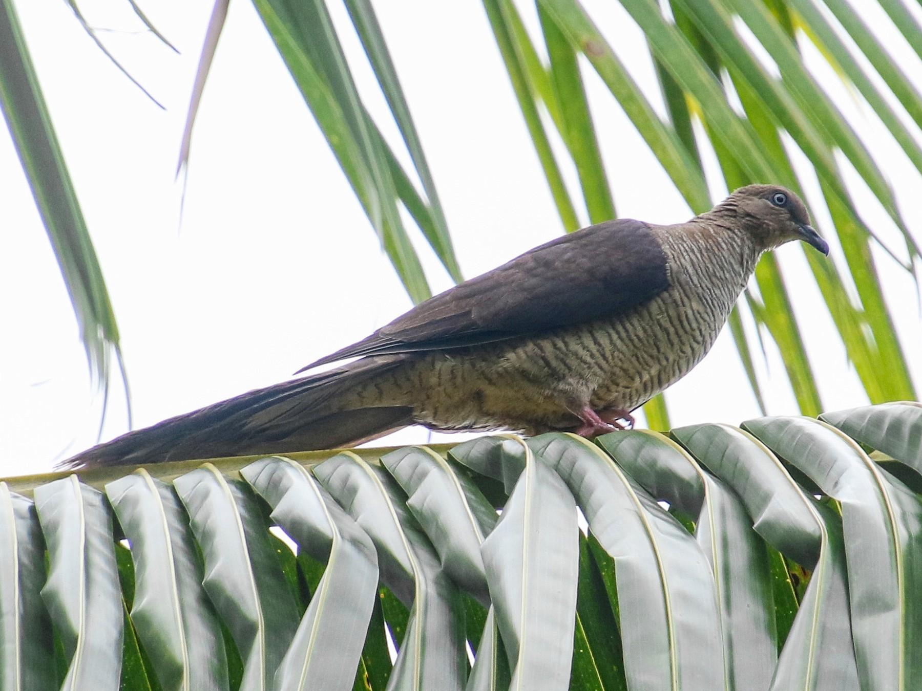 Flores Sea Cuckoo-Dove - Alex Berryman