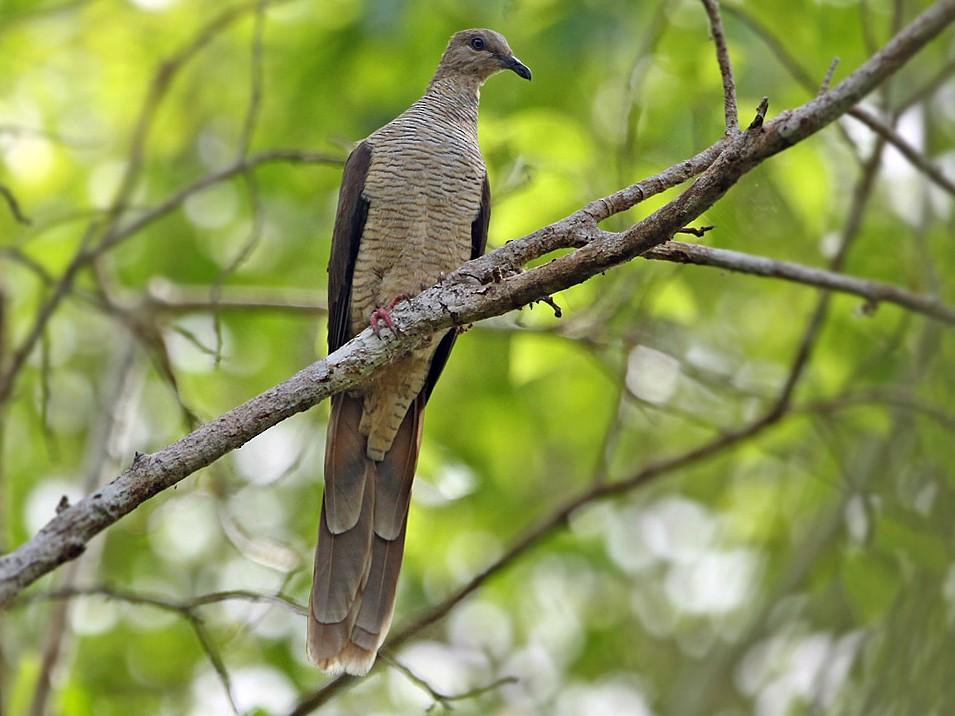 Flores Sea Cuckoo-Dove - James Eaton