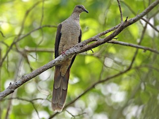 - Flores Sea Cuckoo-Dove