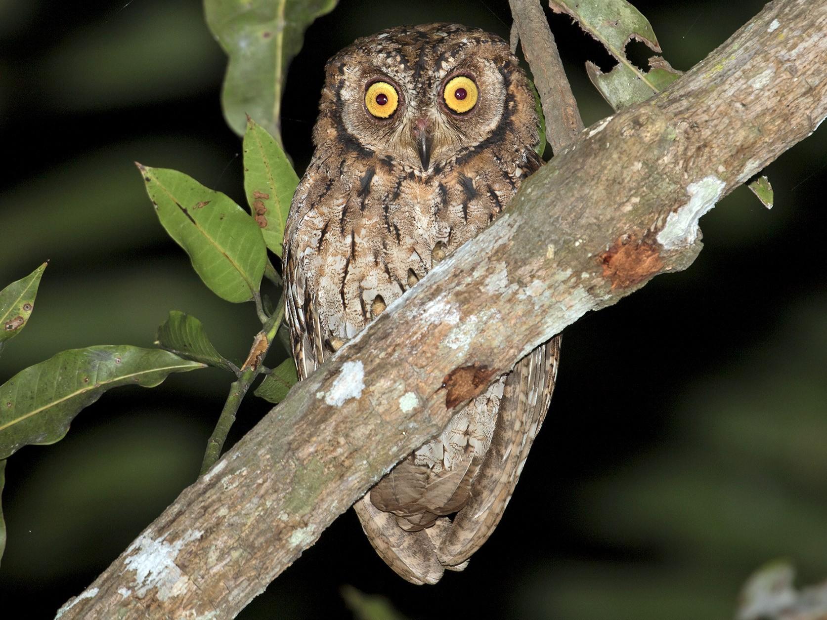 Moluccan Scops-Owl - Sam Woods