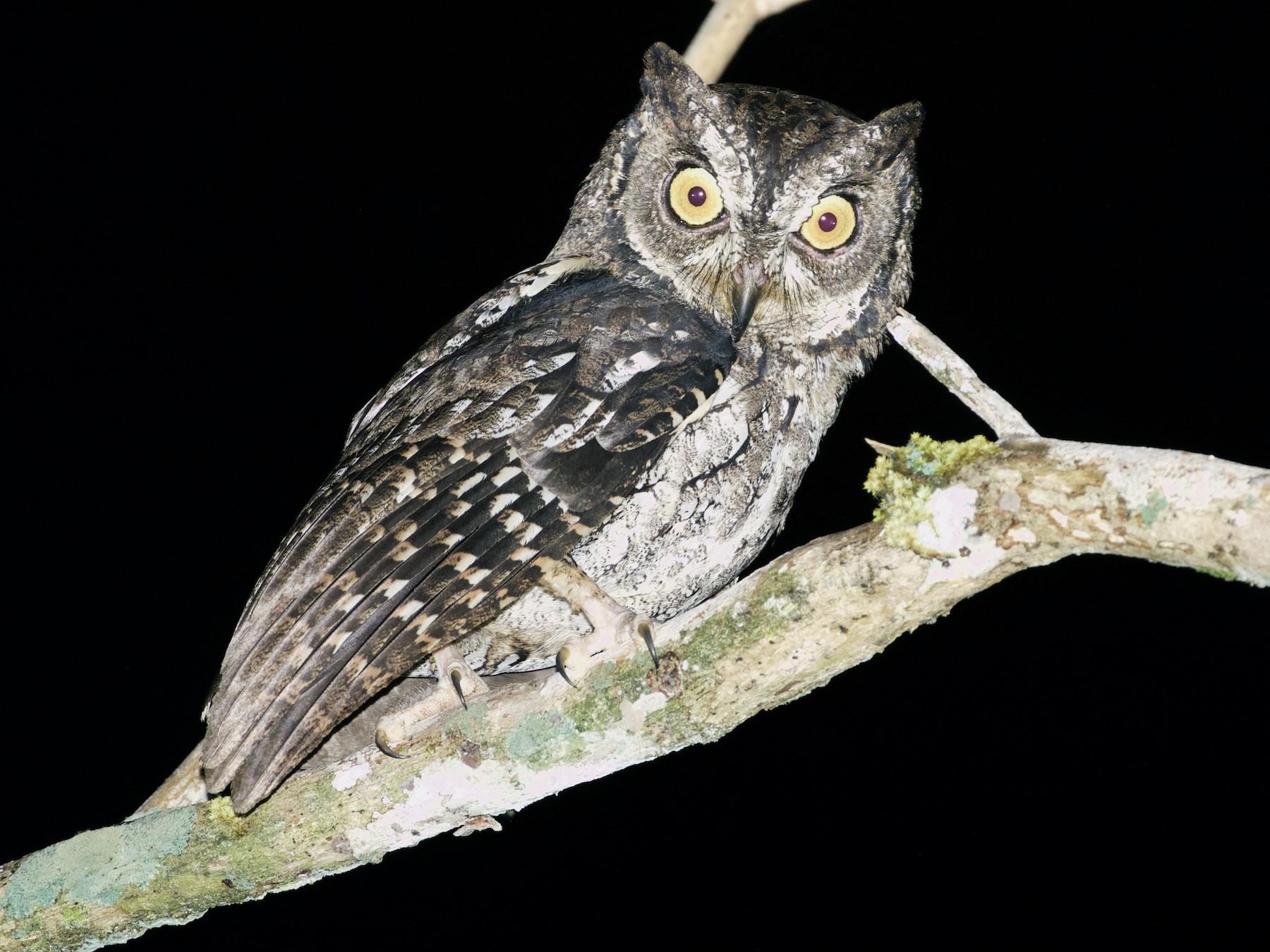 Moluccan Scops-Owl - Scott Baker