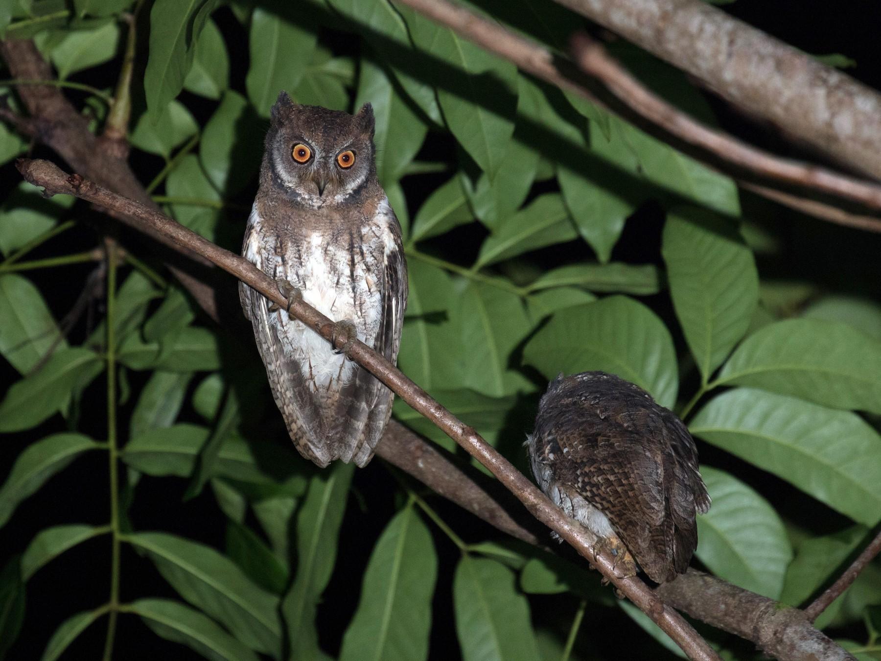 Moluccan Scops-Owl - Ross Gallardy