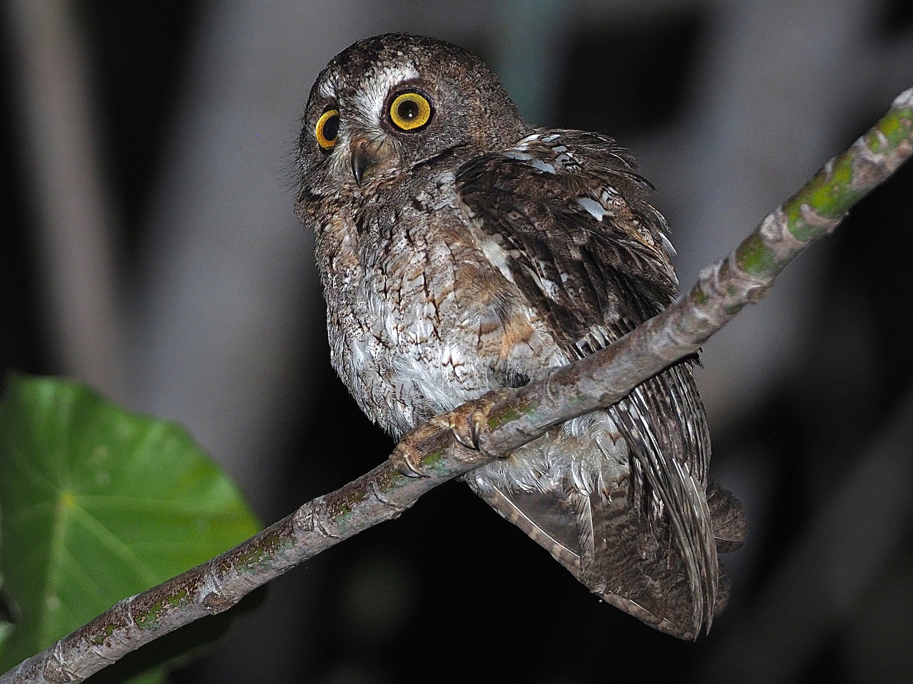 Moluccan Scops-Owl - James Eaton