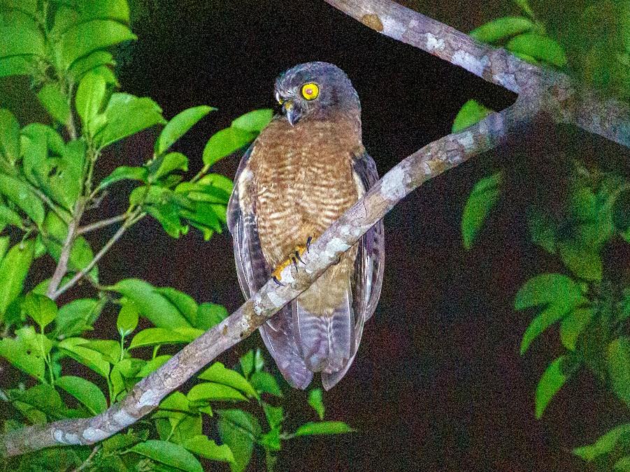 Halmahera Boobook - Andy Walker - Birding Ecotours