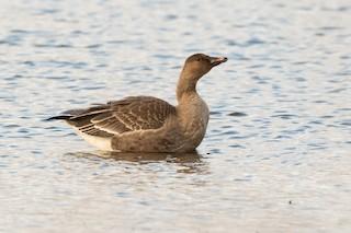 Tundra Bean-Goose, ML271655211