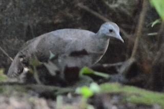 Little Tinamou, ML27169971