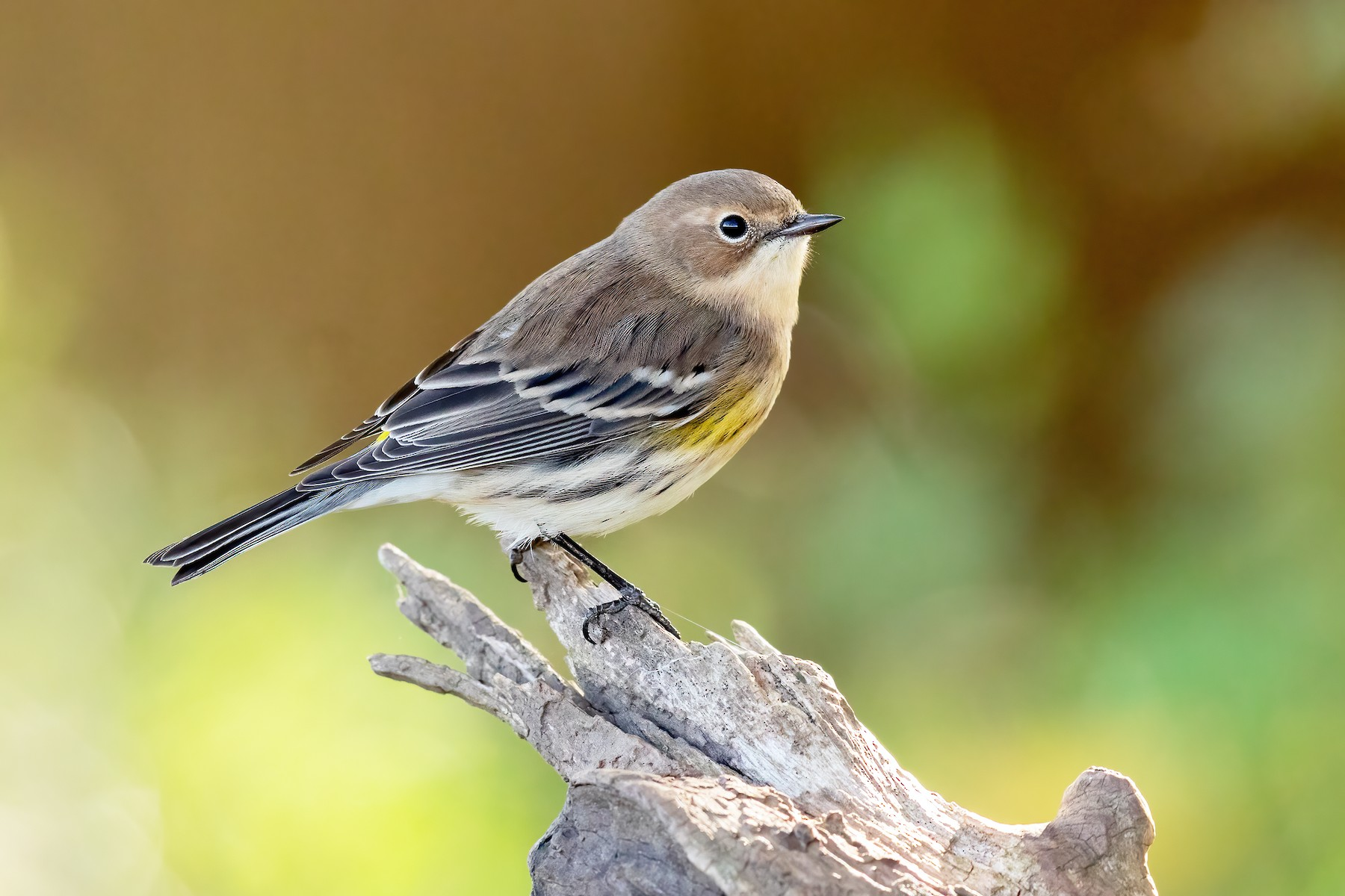 Yellow-rumped Warbler (Myrtle) - Brad Imhoff