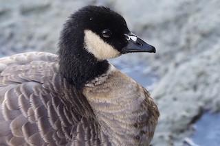 Cackling Goose (Aleutian), ML271881081
