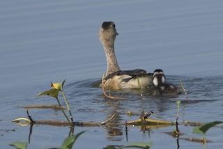 Lesser Whistling-Duck, ML272095931