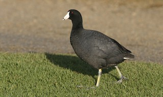 - American Coot (Red-shielded)