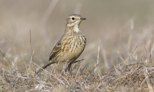 American Pipit (rubescens Group)