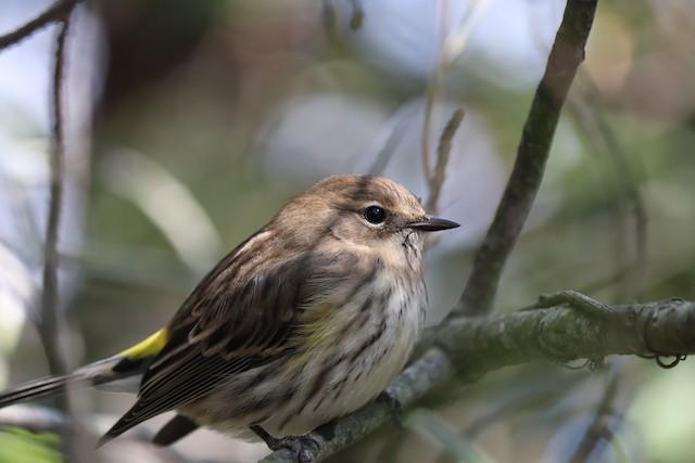 ©Will Bennett - Yellow-rumped Warbler (Myrtle)