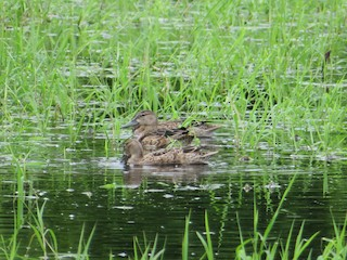 Blue-winged Teal, ML272208721
