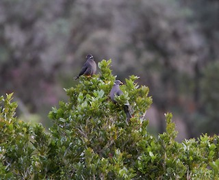 Band-tailed Pigeon, ML272259941
