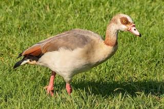 Egyptian Goose, ML272431011