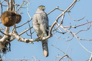 - Madagascar Sparrowhawk