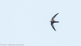 - Madagascar Swift