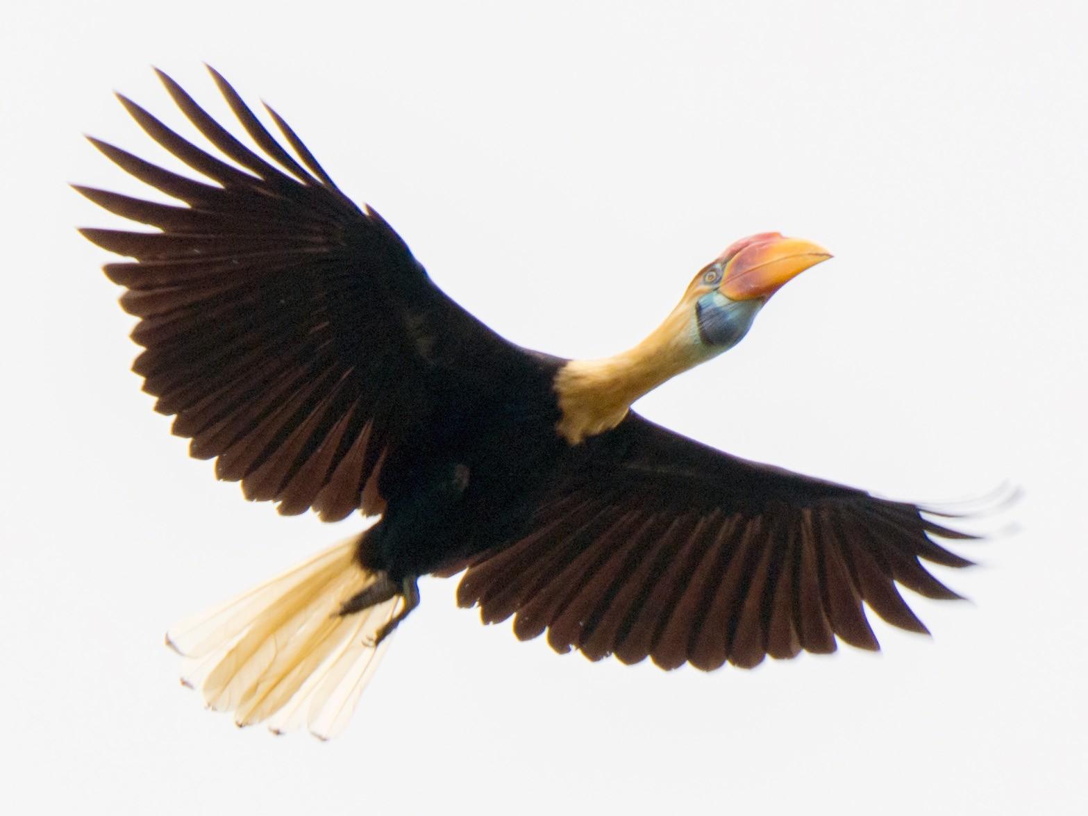 Knobbed Hornbill - William Stephens