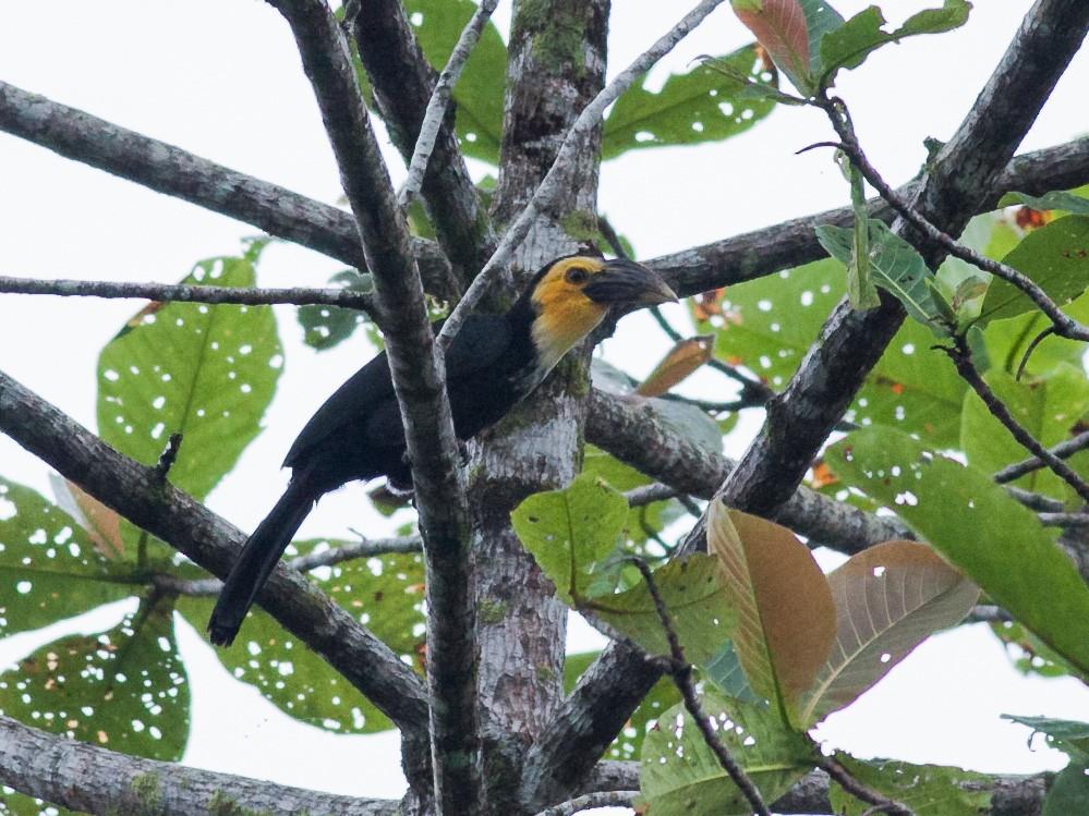 Sulawesi Hornbill - Wilbur Goh Soon Kit