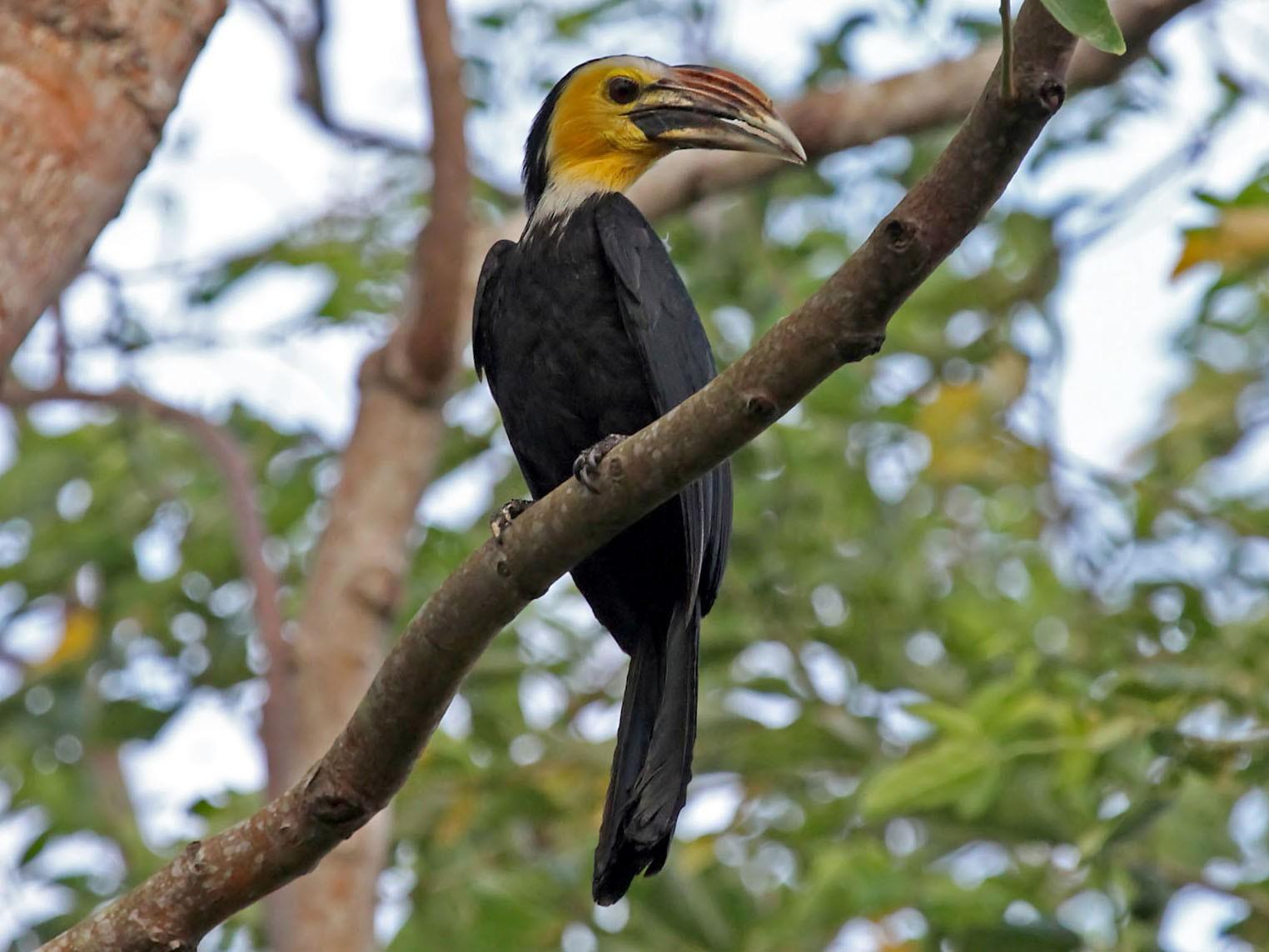Sulawesi Hornbill - Phillip Edwards