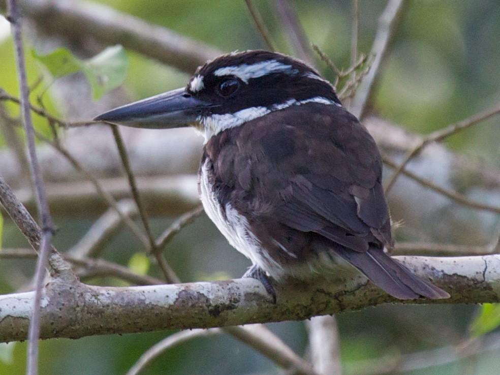 Sombre Kingfisher - Eric Barnes
