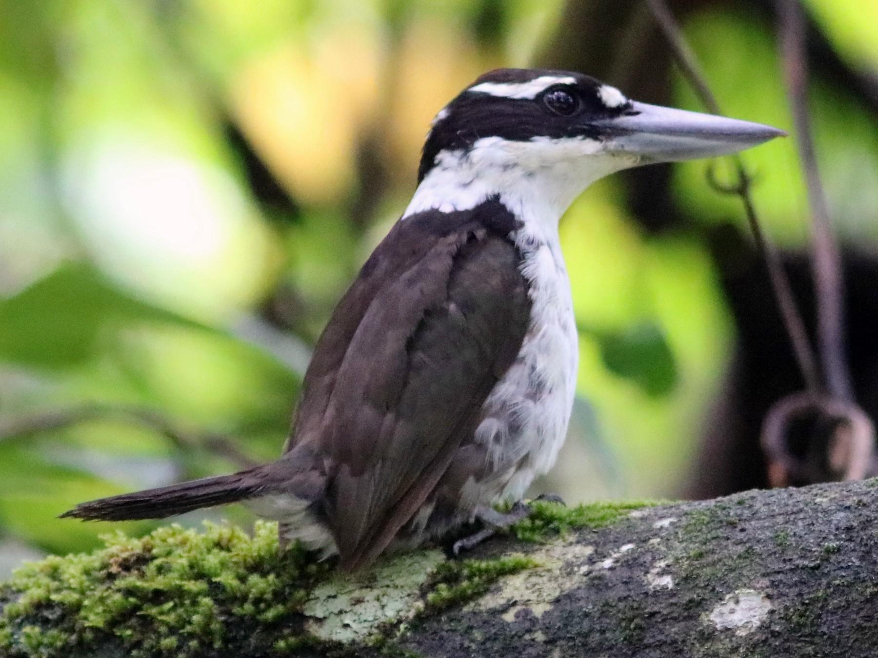 Sombre Kingfisher - John Drummond