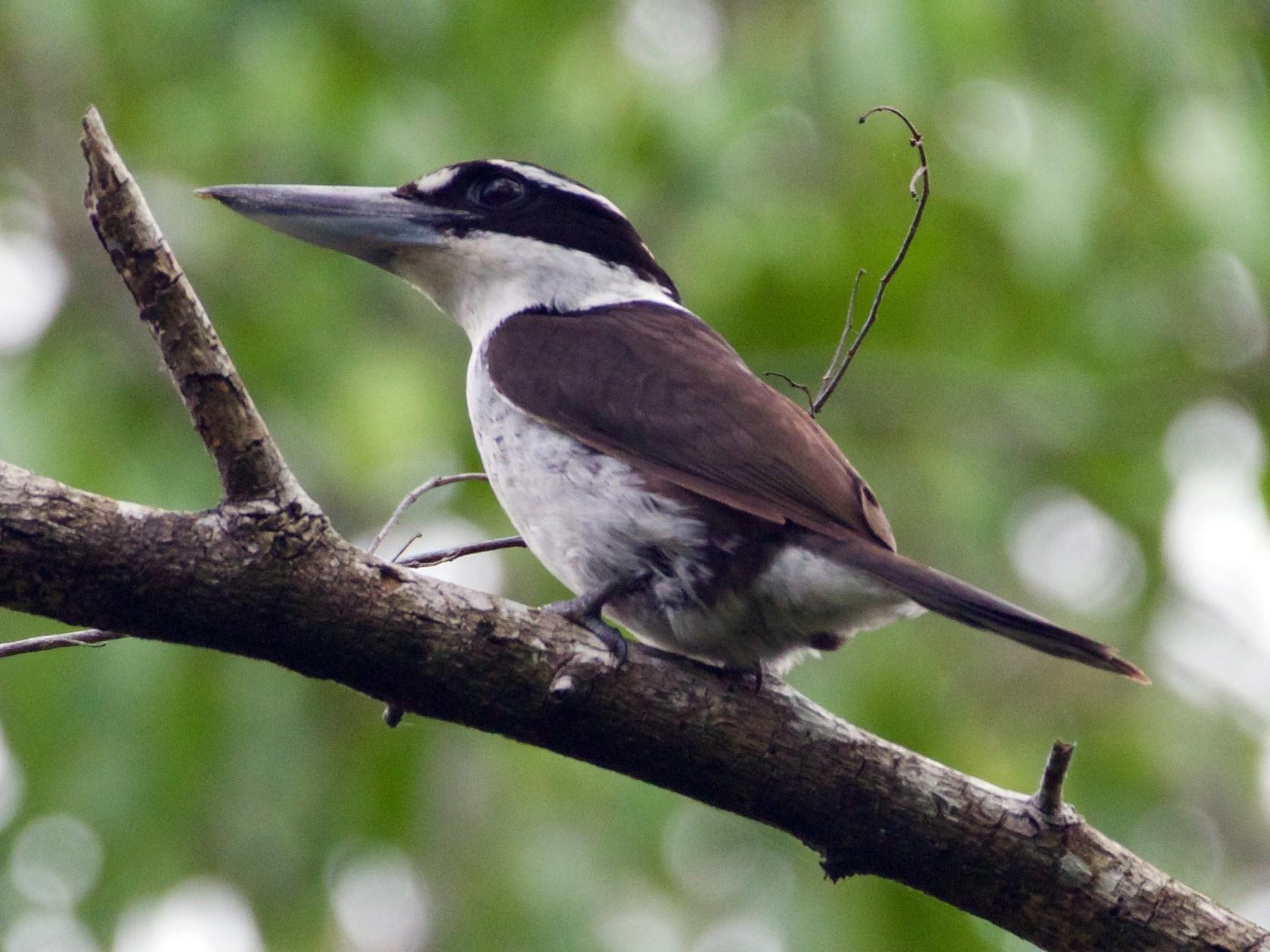 Sombre Kingfisher - Scott Baker