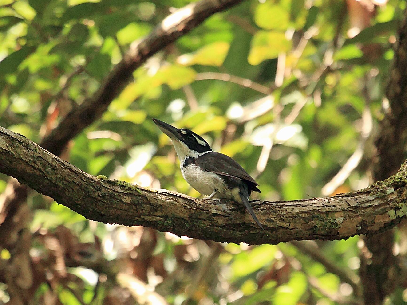 Sombre Kingfisher - Nigel Voaden