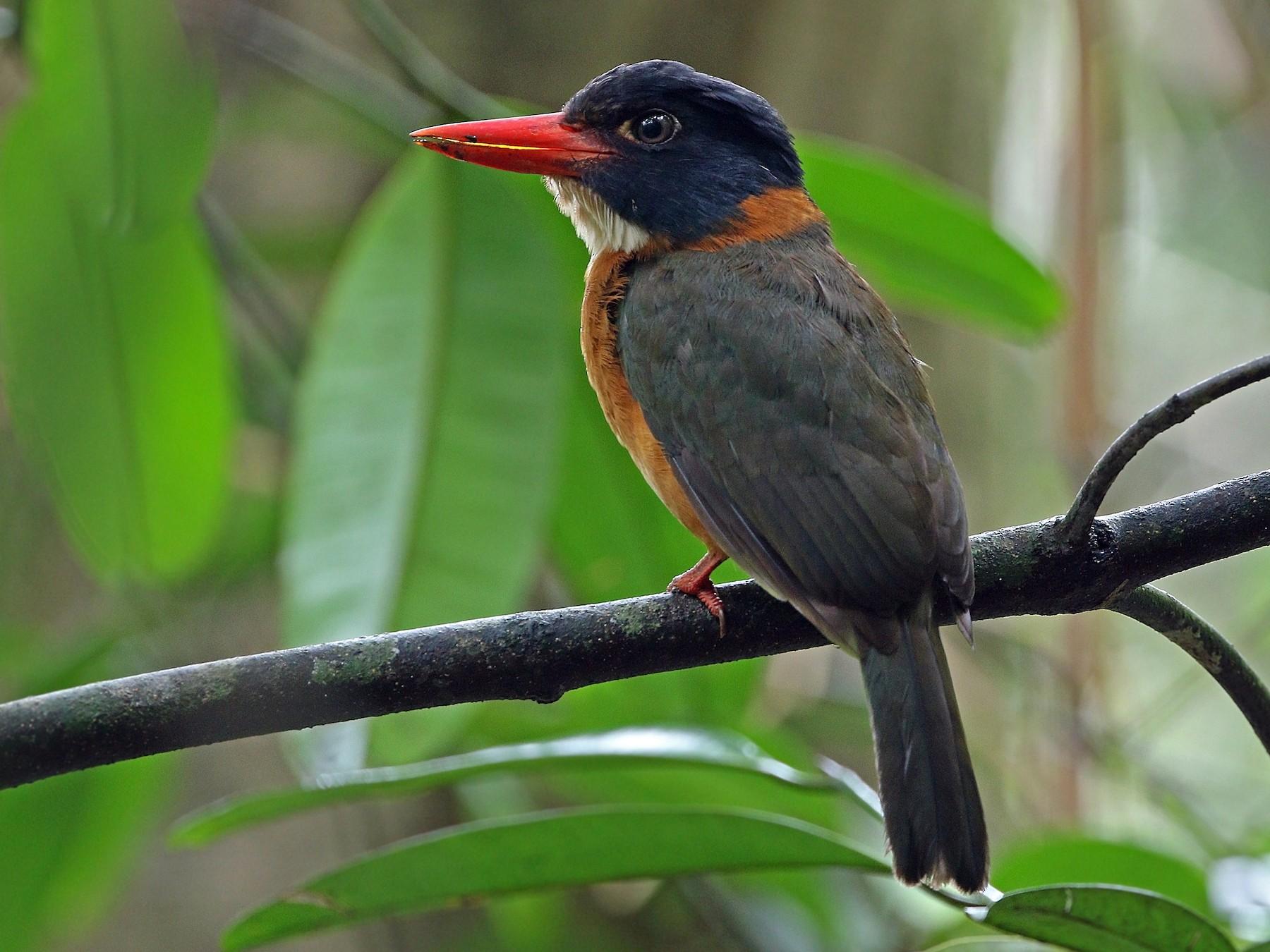 Green-backed Kingfisher - James Eaton