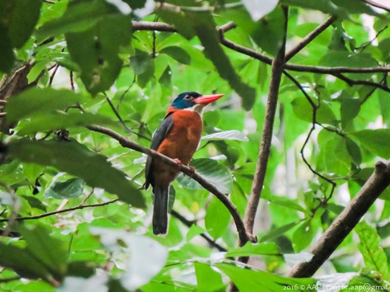 Green-backed Kingfisher - Asman Adi Purwanto