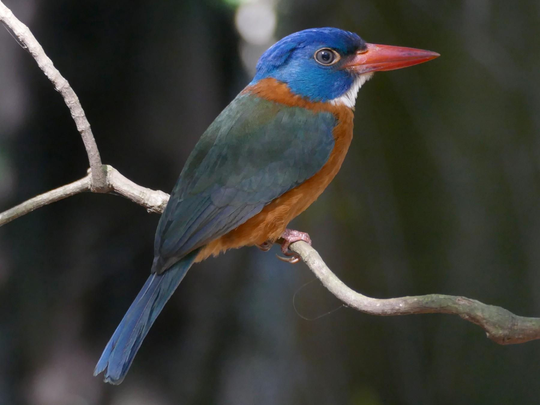 Green-backed Kingfisher - Peter Kaestner