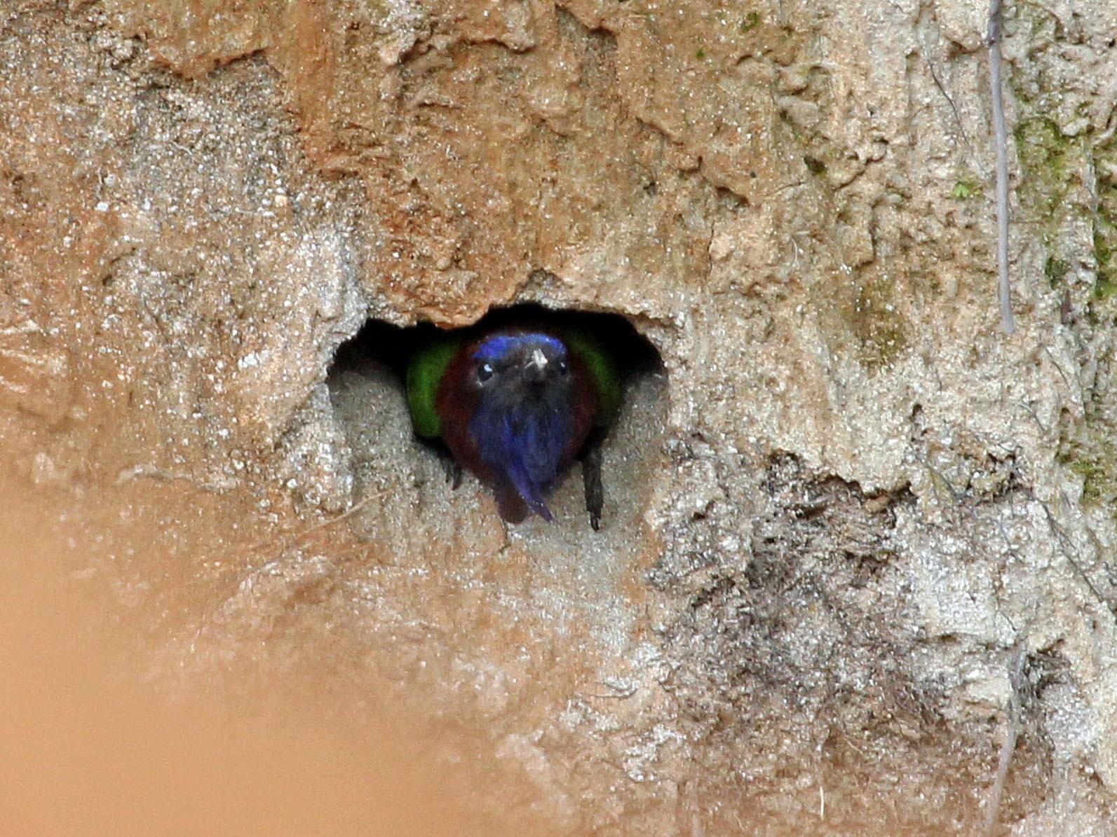 Purple-bearded Bee-eater - Phillip Edwards