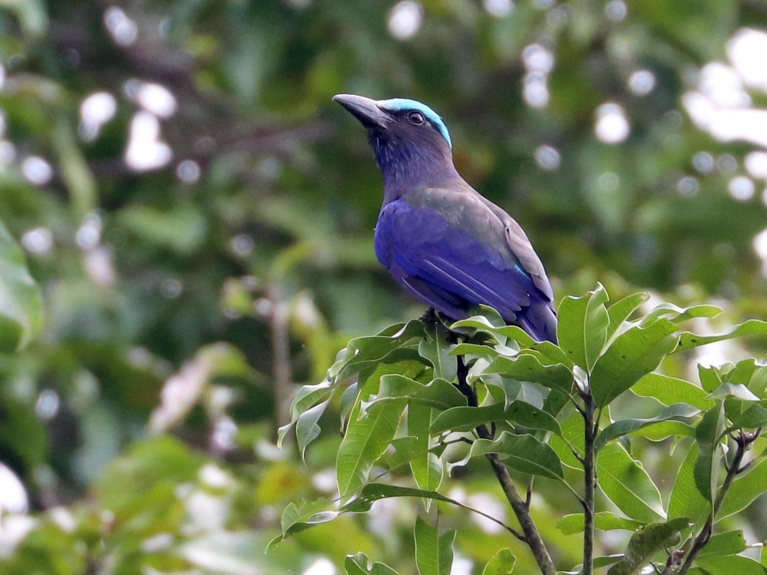 Purple-winged Roller - Julien Lamouroux